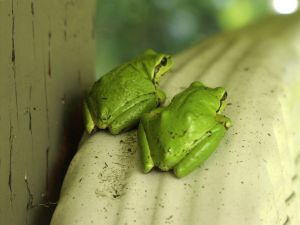 Two frogs sitting on a drainpipe by mactheweb